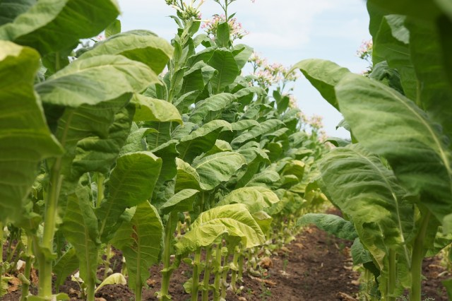 Tobacco plants. (Photo Credit: webyourlife / Pixabay)