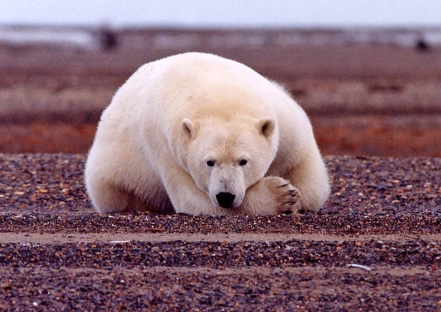 A polar bear in the Arctic National Wildlife Refuge in Alaska. (Photo: Susanne Miller / USFWS)