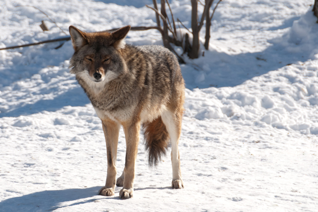 <i><small>Coyote fur doing what it should do: Protecting a wild coyote from the cold. (Photo: mrpolyonymous / Flickr)</small></i>