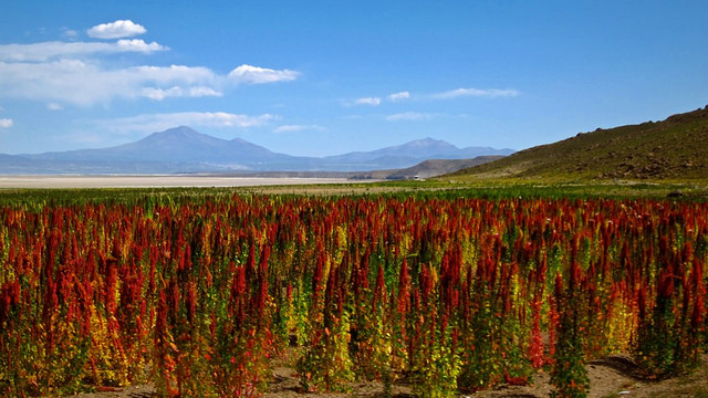 Quinoa fields in Bolivia. (Photo: Mickael T. / Flickr)