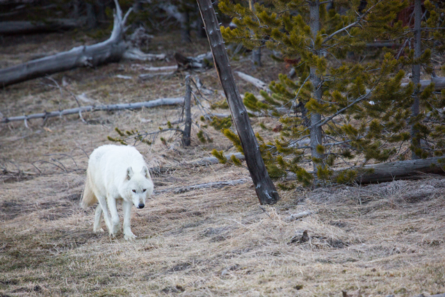 The alpha female of the Canyon Pack was euthanized after she was found shot on the north side of Yellowstone National Park. (Photo: Neal Herbert / National Park Service)
