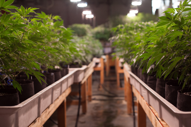 Marijuana growing at L'Eagle Services in Denver, Colorado. (Photo courtesy of L'Eagle Services)