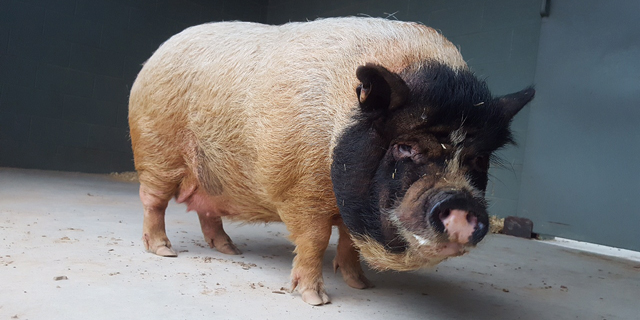 One of three pigs that were rescued in a recent cruelty case and brought to Black Beauty Ranch. (Photo: Kaite Birk / HSUS)
