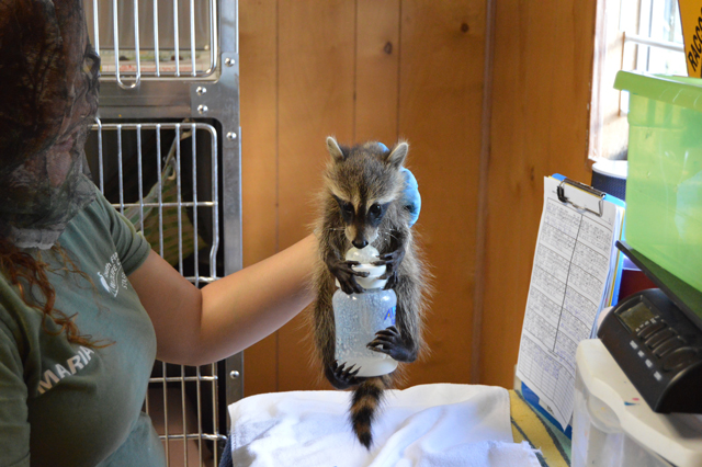 An orphaned baby raccoon guzzles formula at the South Florida Wildlife Center. (Photo: Deborah Robbins Millman / Humane Society of the United States)