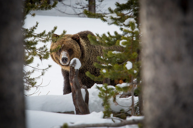 A Yellowstone grizzly in 2014. (Photo: NPS / Flickr)