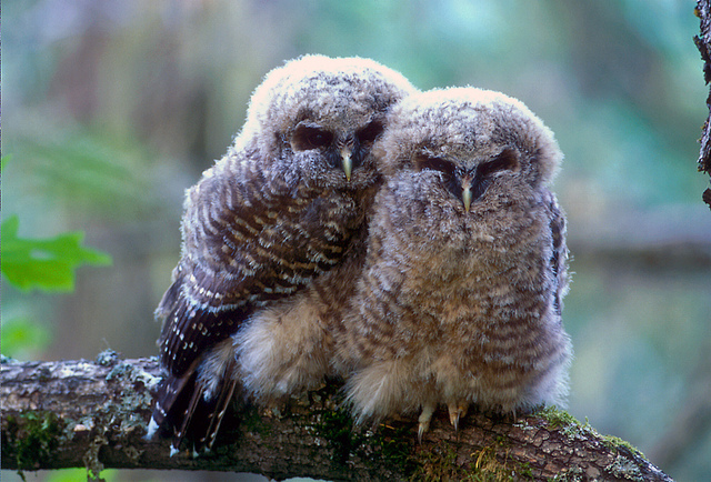 A pair of threatened northern spotted owl fledglings. (Photo: Tom Kogut / USFS)