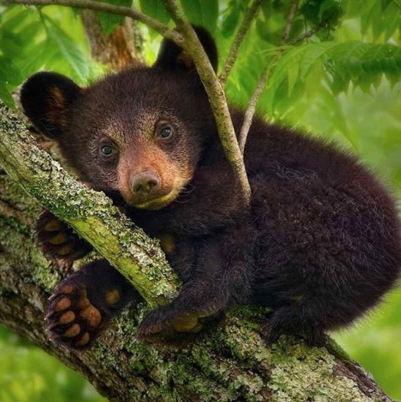Baby Black Bear in Great Smoky Mountains National Park. Photo credit: Steve Perry.