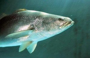 Totoaba in the wild.