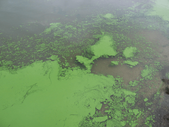 Algal bloom in Lake Binder, Iowa. (Photo Credit: Dr. Jennifer L. Graham / U.S. Geological Survey)