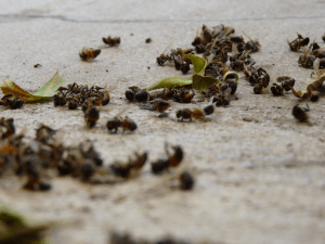 Dead bees on the sidewalk. (Image Credit: Reader of the Pack / Flickr)