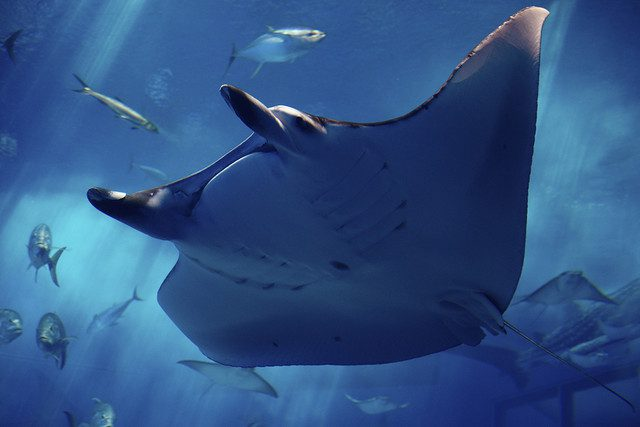 Manta ray at the Chura-umi Aquaruim, Okinawa, Japan. (Photo Credit: Ken Funakoshi)