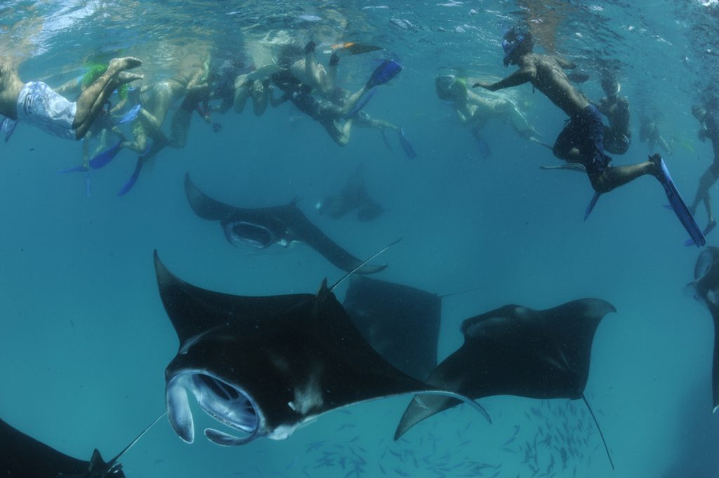 snorkelers with reef mantas, the Maldives. Photo by Guy Stevens.