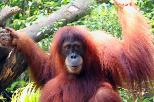 Chomel, a Sumatran orangutan, at Singapore Zoo, 2009. (Photo Credit: Lionel Leo via WikiMedia Commons)