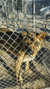 One of the lions that was seized. (Photo: Nye County Sheriff's Office)