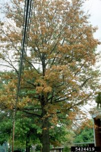 Pin oak with bacterial leaf scorch