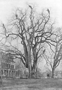 Workers picking gypsy moths off a tree.