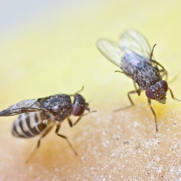 How To Get Rid Of Fruit Flies Planet Natural