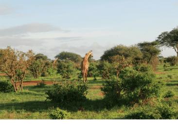 Giraffa, Tsavo Est