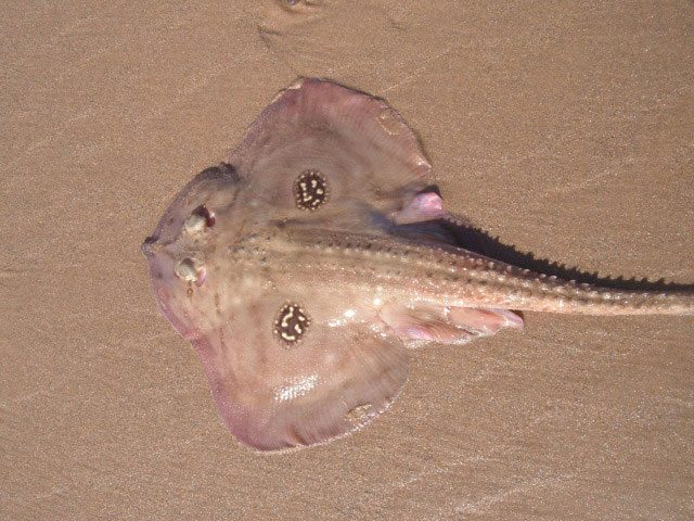 species ID cuckoo ray