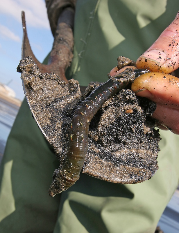 a large lugworm resting on a spade