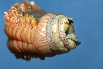 the head and pincers of a ragworm close up
