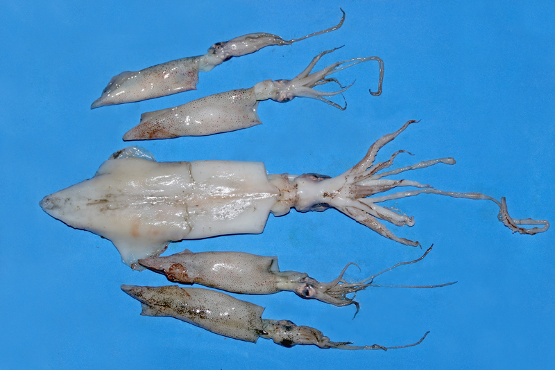 a selection of caimari squid