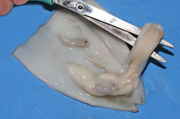 removing the squid guts