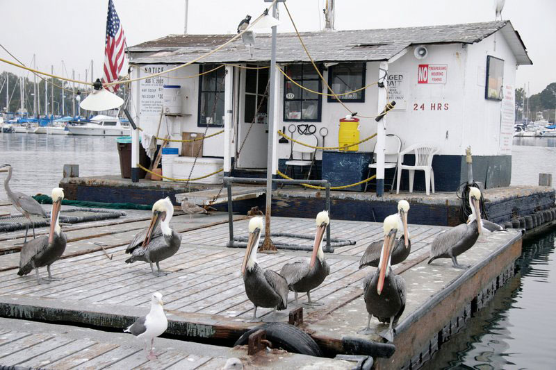 pelicans wait for spare fish
