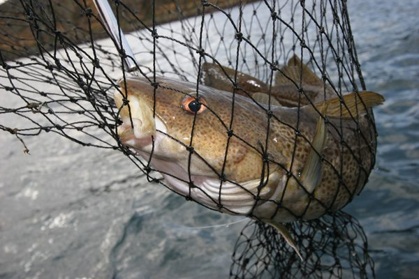a Scrabster cod in the net