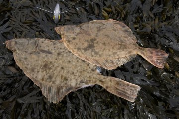two Sandside Bay flounders lying on bladderwrack