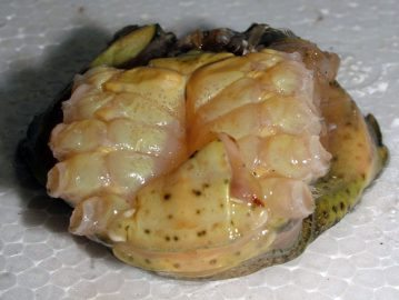 a peeler crab stripped of its shell