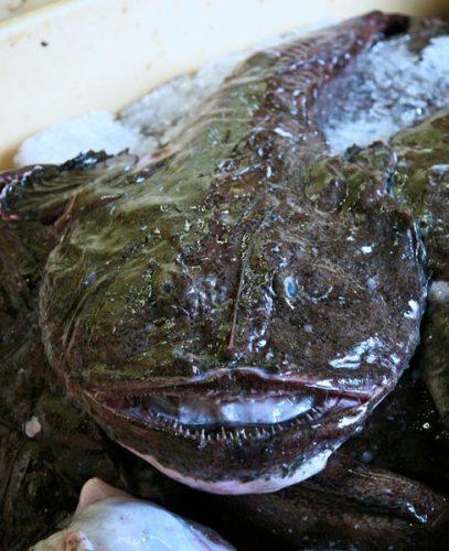 species ID angler fish
