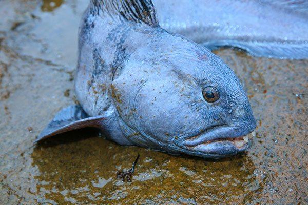 species ID catfish wolf fish