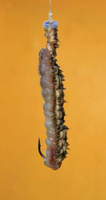White Ragworm cocktail with mackerel