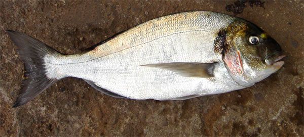 species ID gilthead bream
