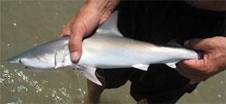 ovoviviparous fish