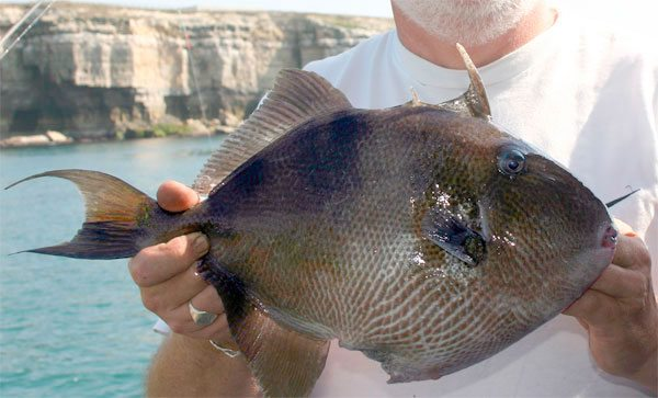 species ID trigger fish