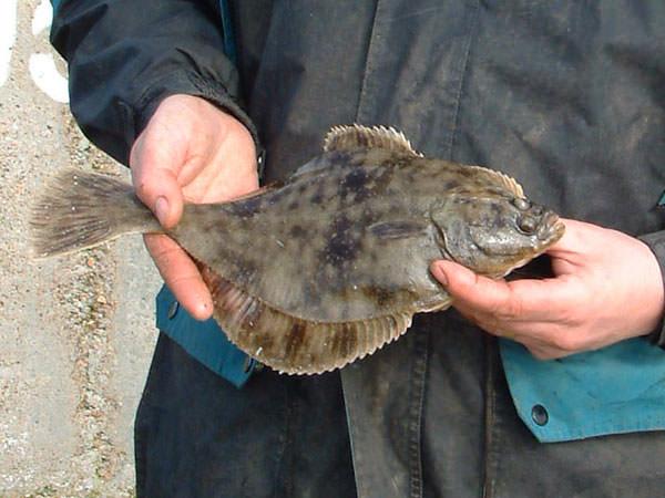 a flounder