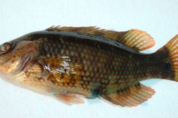species ID corkwing wrasse