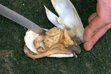 removing the gaper clam from its shell