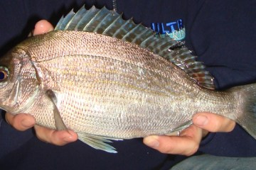a lovely marked shore caught black bream