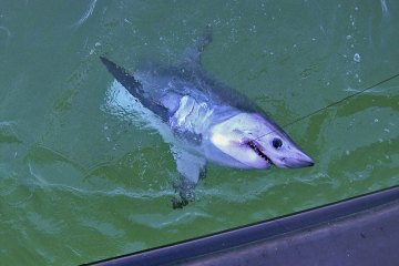 porbeagle shark beside boat