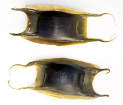 oviparous fish