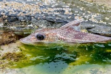 Shore caught grey gurnard