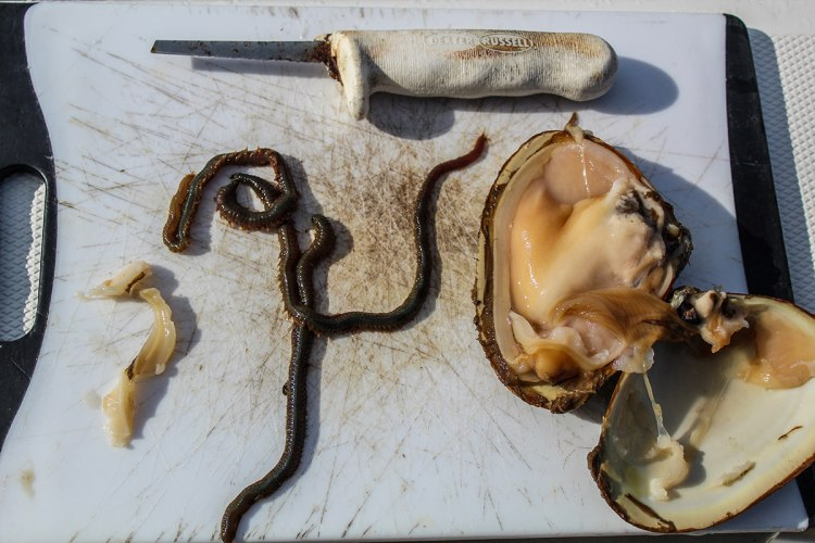 clam and worm baits for Winter flounder