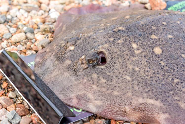Thornback ray with a beady eye
