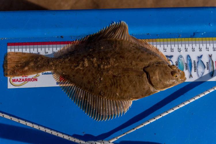 Embo beach flounder