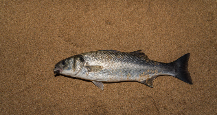 Bass from the east end of Sandside beach