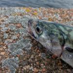 mackerel head