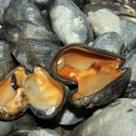 two open shelled mussels on a mussel bed